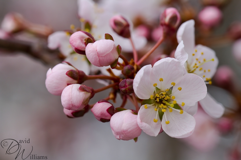 Macro Monday ~ Cherry Blossom