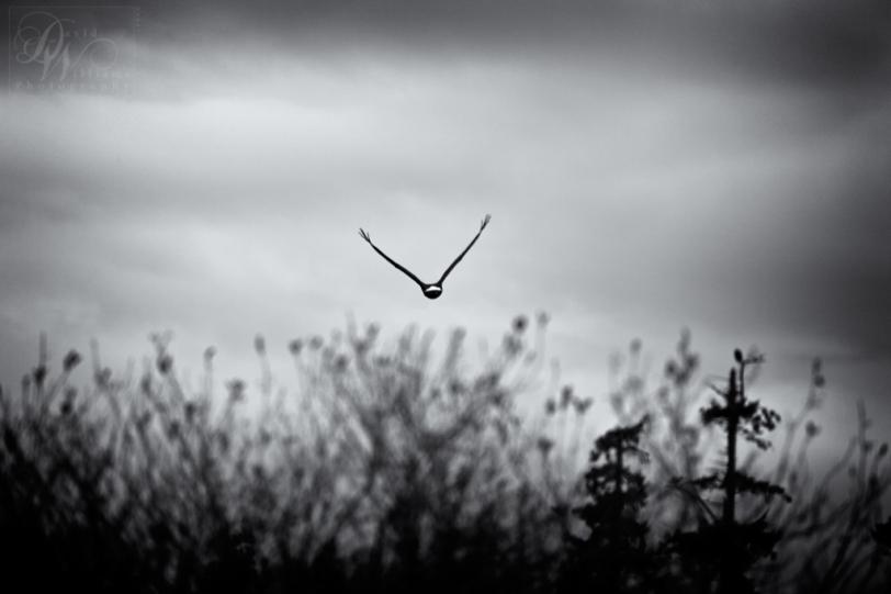 David Williams Photography Eagle Canon 5d Mark II