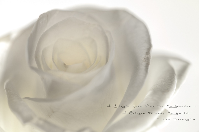 David Williams Photography A Single Rose