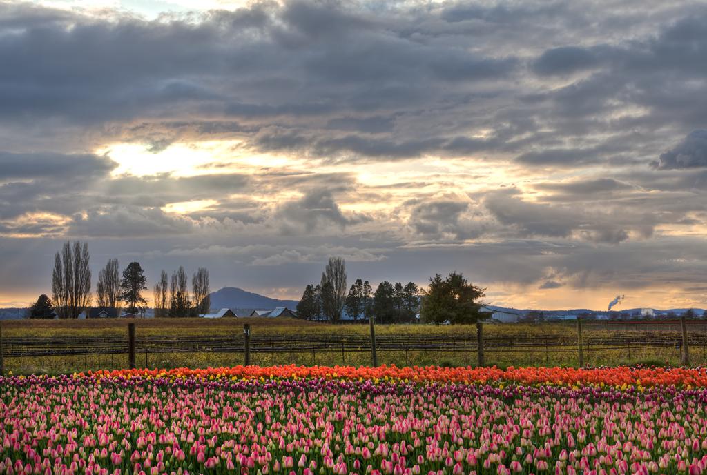 David Williams Photography Tulips