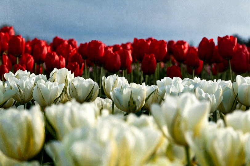 David Williams Photography Texture Thursday Tulips