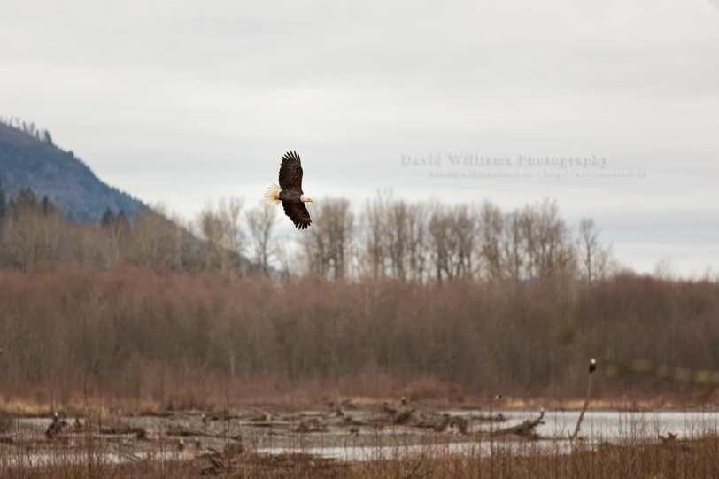 David Williams Photography Eagle Flying