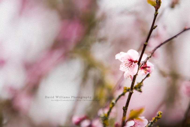David Williams Photography Cherry Blossom